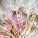 ernst-haas-parachute-flowers